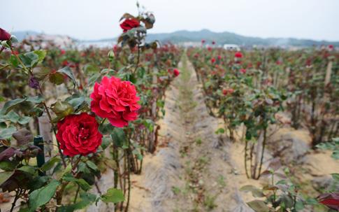 島根県大田市に位置する奥出雲薔薇園の畑。自然に恵まれており、奥に写っている山を越えると海が広がっているのだそう。さまざまな神話が息づく地で育まれたバラと聞くと、なんだか御利益すらいただけそうです。