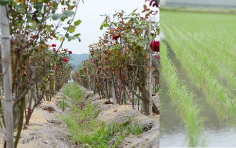 根本に敷かれた藁(写真左)と、畑の周りにある田んぼ(写真右)。山のほうからはトンビが、海のほうからはカモメが飛んでくるという、どこか不思議な場所。