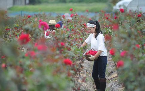 朝摘みの風景。朝摘みを体験した堀内さんいわく「すごく暑い時期だったので、汗だくになりましたが、作業中はバラの香りに包まれていて幸せを感じました」